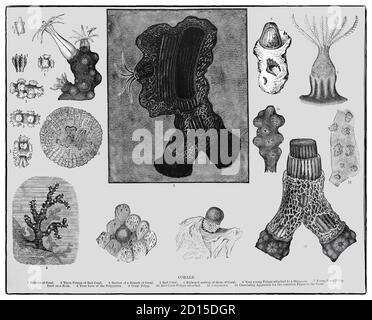 Eine Karte aus dem späten 19. Jahrhundert, die Arten von Korallen, marine Wirbellose innerhalb der Klasse Anthozoa des Stammes Cnidaria zeigt. Sie leben typischerweise in kompakten Kolonien von vielen identischen Einzelpolypen. Korallenarten umfassen die wichtigen Riffbauer, die tropische Ozeane bewohnen und Kalziumkarbonat absondern, um ein hartes Skelett zu bilden. Jeder Polyp hat nur wenige Millimeter Durchmesser und wenige Zentimeter Höhe, die ein Exoskelett in der Nähe der Basis ausscheidet. Über viele Generationen hinweg schafft die Kolonie so ein charakteristisches Skelett der Art, das bis zu mehreren Metern Größe messen kann. Stockfoto