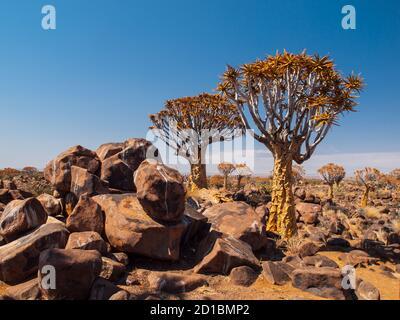 Köcherbaumwald an sonnigen Tagen mit blauem Himmel, Namibia