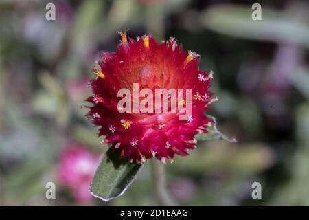 Eine rote Gomphrena globosa oder Bachelor-Taste ist eine jährliche Pflanze. Arten können verschiedene Farben haben.