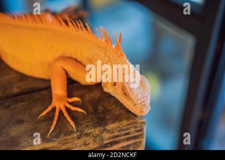 iguana- auch bekannt als Common Leguana oder American Leguana, ist eine große, arboreale, meist pflanzenfressende Eidechse der Gattung Iguana beheimatet