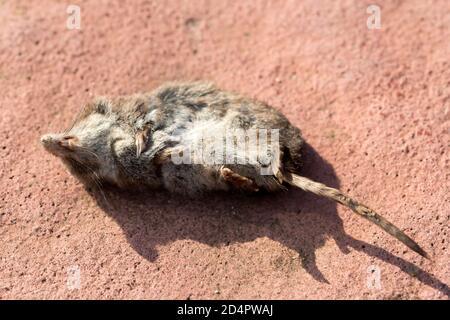 Tot Gemeine Wühlmaus auf dem Boden, Nahaufnahme Bild Stockfoto