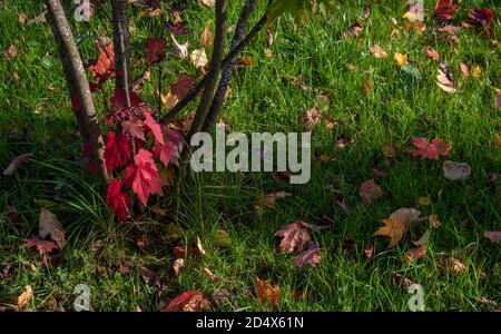 Ahornbaum und gefallene Blätter auf dem grünen Gras innen Der Park Stockfoto