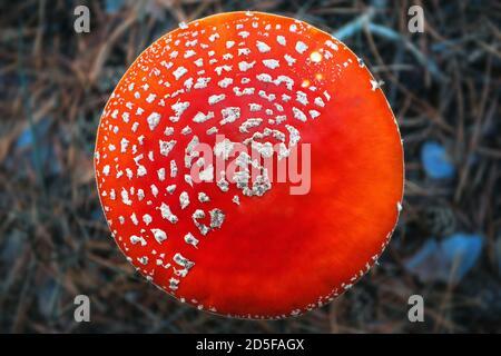 Giftiger, halluzinogener und giftiger Pilz Amanita im Herbstwald. Fliegenpilz Draufsicht - Stockfoto