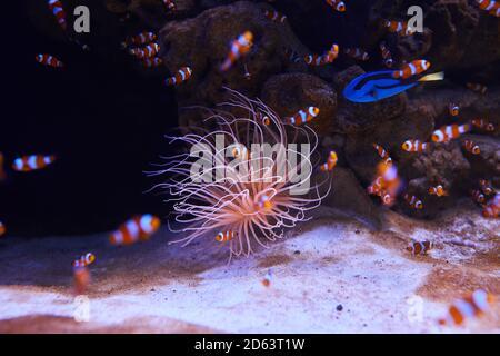 Seeanemone und verschiedene Fische im Meerwasseraquarium.