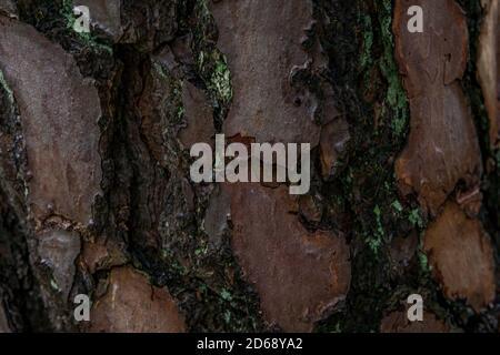 Kiefer Nadelholz Textur Hintergrund in Mischwald im oberen schwaben deutschland - Stockfoto