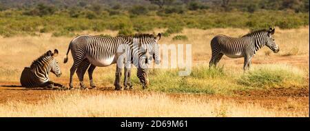 Die Zebrafamilie weidet in der Savanne Kenias in Samburu.