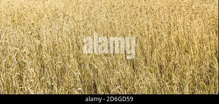 Weizenfeld mit goldenen Ohren. Ländliche Landschaft unter hellem Sonnenlicht. Hintergrund der reifenden Ohren des Weizenfeldes. Das Konzept einer reichen Ernte Stockfoto