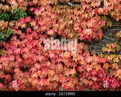 Ein Teil der Wand im leuchtend roten Herbst bedeckt Blätter eines Boston Ivy - Parthenocissus tricuspidata - Stockfoto