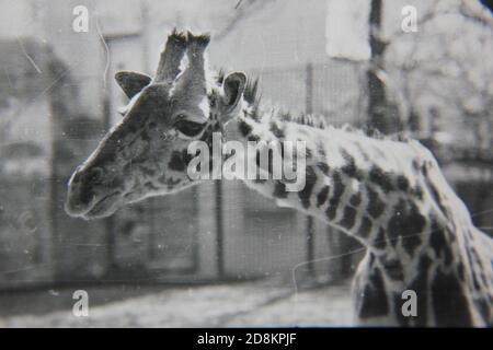 Feine 70er Jahre Vintage Schwarz-Weiß-Fotografie einer freundlichen Giraffe.