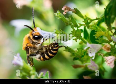 Ivy Bee (Colletes hederae) Männchen auf gemeiner Calamint (Calamintha ascendens), einsame Bienen, Pays de Loire, Frankreich
