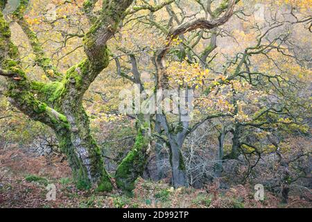 Verdrehte alte Eichen in einem Wald im Herbst Zeit, mit goldenen Blättern und leuchtend grünen Moos auf den Baumstämmen und Ästen. Stockfoto