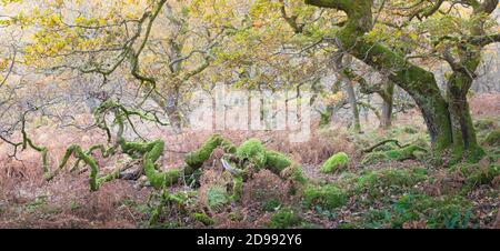 Verdrehte alte Eichen in einem Wald im Herbst Zeit, mit goldenen Blättern und leuchtend grünen Moos auf den Baumstämmen und Ästen. - Stockfoto