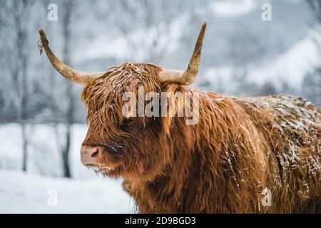 Porträt einer galloway-Kuh, die auf einem Feld im Schnee steht, Österreich