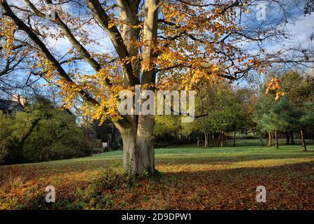Herbst Buche Blätter - Cheshire