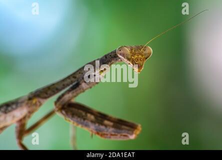 Nahaufnahme des Kopfes und der zusammengesetzten Augen einer Carolina Mantis (Stagmomantis carolina). Texas, USA.