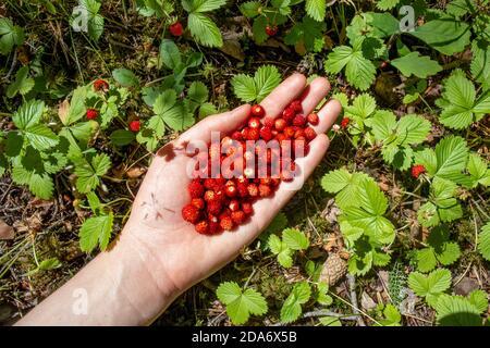Frisch gepflückte Erdbeeren in Frauenhand. Eine Handvoll reife Beeren. Beeren pflücken im Wald. Sommerzeit. Gesunde Bio-Lebensmittel-Konzept. Anlagen.