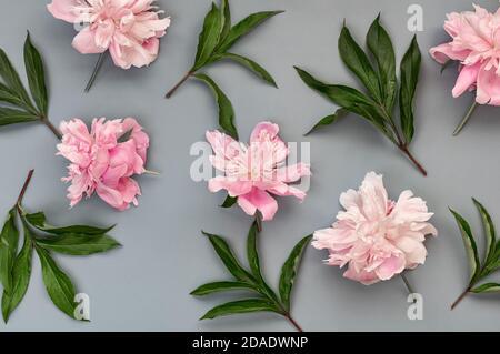 Pfingstrose Blätter und Blumen auf grauem Hintergrund. Schöne florale Hintergrund. Draufsicht. Flach liegend.