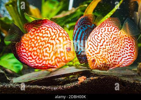 Bunte Fische aus den Stacheln Symphysodon Discus im Aquarium Fütterung auf Kuhherz Fleischwürfel.