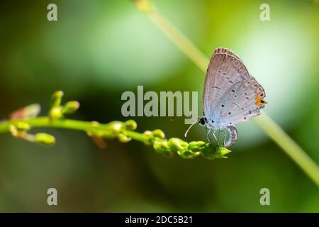 Ein weibliches Ostschwanzblau (Cupido comyntas), das Eier in einer winzigen Blüte ablegt. Raleigh, North Carolina. Stockfoto