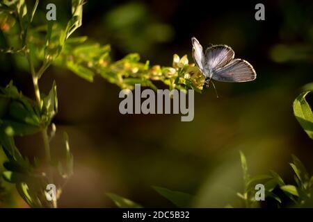 Ein Ostschwanzblau (Cupido comyntas). Raleigh, North Carolina. Enthält Text- oder Kopierbereich. Stockfoto
