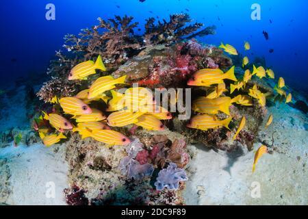 Blue Stripe Snapper auf einem farbenfrohen tropischen Korallenriff Die Andamanische See