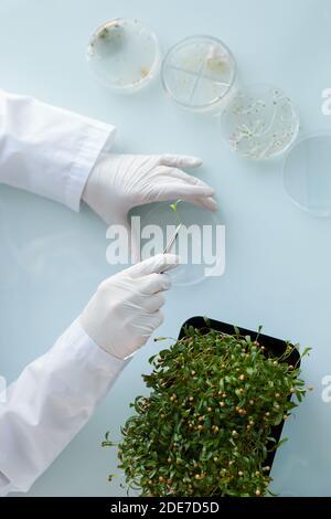 Draufsicht Nahaufnahme einer nicht erkennbaren Wissenschaftlerin, die Pflanzenproben in Petrischalen untersucht, während sie im Biotechnologielabor arbeitet, Kopierraum