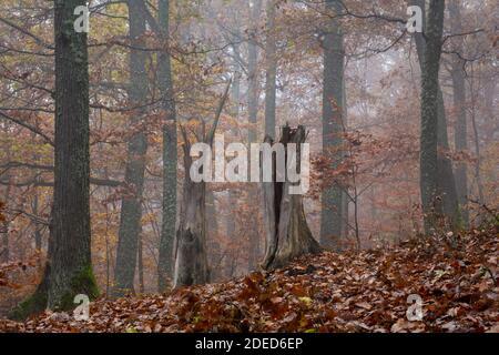 Eichenwald Autumnl in der Südslowakei. - Stockfoto