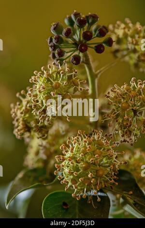 Blüten und Beeren von Efeu, Hedera Helix, im Herbst. Stockfoto