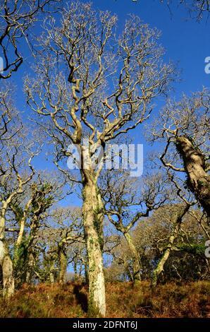 Verdrehte Wintereichen in einem alten walisischen Wald Lawrenny Ancient Oak Woodland Pembrokeshire Wales Cymru Großbritannien Stockfoto