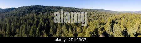 Ein gesunder Wald von Redwood-Bäumen, Sequoia sempervirens, wächst in Nordkalifornien. Redwood Bäume sind die größten Bäume auf der Erde.