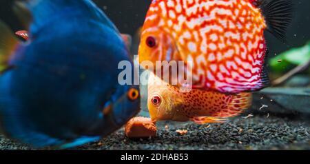 Bunte Fische aus dem Spieß Symphysodon Discus im Aquarium füttern Fleisch.