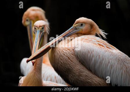 Great White Pelican - Pelecanus onocrotalus, große weiße Meer Vogel aus afrikanischen Küste, Walvis Bay, Namibia.