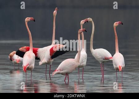 Groep blatsende Flamingo's; Gruppe von displying Greater Flamingo