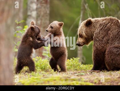 Eurasische Braunbärin (Ursos arctos) weiblich und ihre verspielten Jungen am Rande eines borealen Waldes, Finnland. - Stockfoto