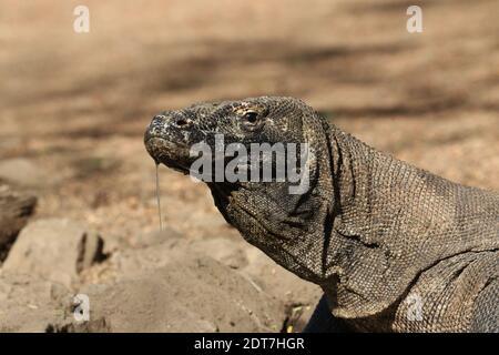 Komodo-Drache, Komodo-Monitor, ora (Varanus komodoensis), Portrait, salivierend, Indonesien, Komodo-Insel