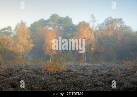 Herbstblätter auf silbernen Birken im Morgennebel, Newtown Common, Burghclere, Hampshire, England, Vereinigtes Königreich, Europa