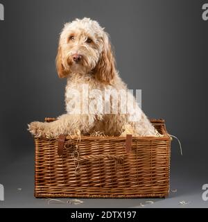 Cockapoo Hund saß innen Korbkorb Picknick auf grauem Hintergrund
