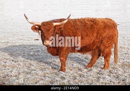 Porträt einer Highland Cow oder Highland Cattle, Bos taurus taurus, in einem frostigen Feld auf einer kleinen Farm in Tumalo, Oregon.