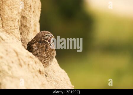Die kleine Eule, die mit offenem Schnabel auf einem schönen Hintergrund aus seinem Loch guckt. Athene noctua. Speicherplatz kopieren - Stockfoto