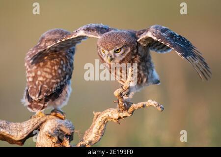Zwei junge Eule, Athene noctua, steht auf einem Stock mit offenen Flügeln.