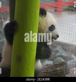 Berlin, 14.02.2020: Zwei Wochen nach dem Einzug der Pandas in ihr neues Gehege fährt Normalität ein. Die Zwillinge Meng Xiang und Meng Yuan alias Pit