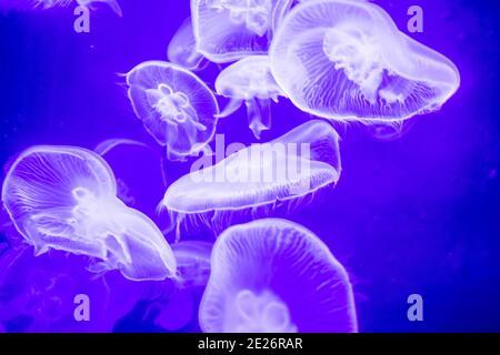 Verschwommene bunte Quallen, die auf dem Wasser schwimmen. Blaue Mondqualle Aurelia aurita Stockfoto
