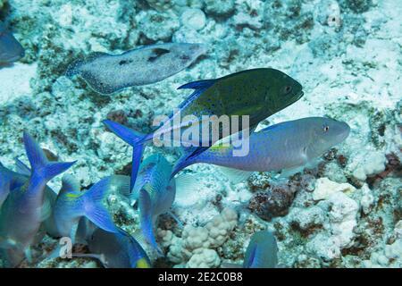 Die Jagdkoalition aus blauem Ziegenfisch und einem Blauen Trevally oder Blauen Jack, Caranx melampygus, wird von einer Pfauenflunder begleitet; Kona, Hawaii, USA