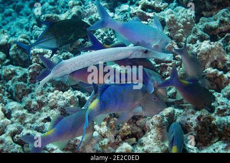 Jagdkoalition aus Blauen Ziegenfisch, Trompetenfisch und Blauen trevally, Kona, Hawaii, USA; Trompetenfisch wird mit dunklen Ektoparasiten befleckt.