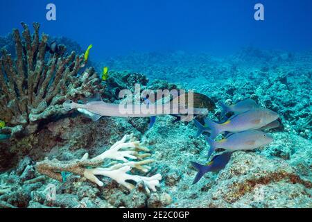 Jagd Koalition von blauen Goatfish oder Gold-Sattel Goatfish, Blaufin Jacks oder trevally, und Trompetenfisch, schwimmen vorbei gebleichten Geweih Koralle, Kona, Hawaii
