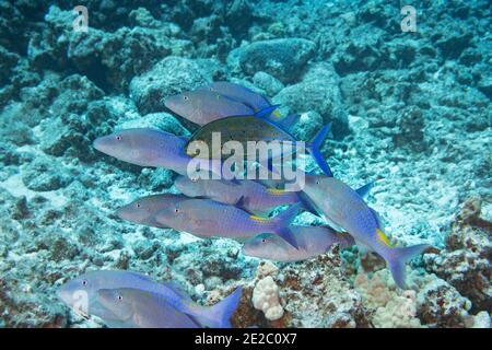 Jagd Koalition von Gelbsattel Goatfish und Blauflossen trevally; Jack hat den vorderen Teil des Körpers verdunkelt, um territorialen Anspruch der Goatfish Schule signalisieren.