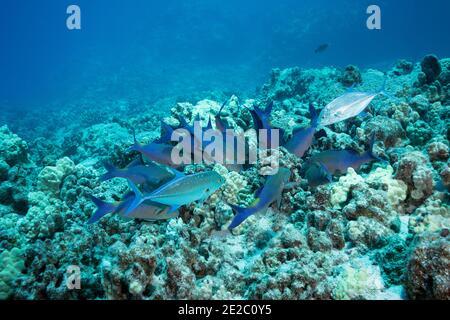 Jagd Koalition von blauen Goatfish und Blauflossen Jacks; Goatfish Beute aus Korallen und Jacks ergreifen alle, die versuchen zu fliehen; Kona, Hawaii, USA