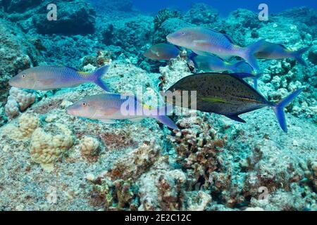 Jagd Koalition von blauen Ziegenfisch und Blaufe Jack; Jack hat eine dunkle Farbphase, die Aggression oder Territorialität zeigen kann angenommen; Kona, Hawaii