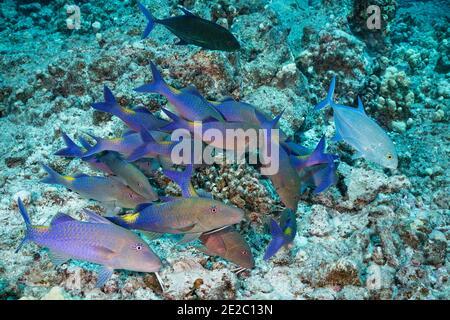 Jagd Koalition von blauen Goatfish und Blauflossen Jacks; ein Jack hat eine dunkle Farbphase, die Aggression oder Territorialität zeigen kann angenommen; Hawaii