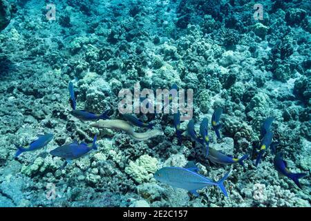 Jagdkoalition von blauem Ziegenfisch mit Blaufbuchsen und einem Muränen-Haal, Kona, Hawaii, USA